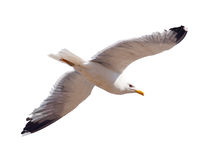 Flying seagull over white Royalty Free Stock Image