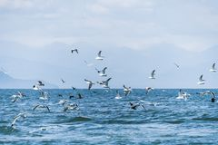 Flying Seagull on Sea of Okhotsk,russia stock images
