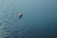 A flying seagull royalty free stock photo
