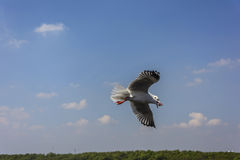 Flying of seagull Stock Photo