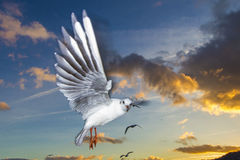 Flying Seagull. S at the sunset time Stock Images
