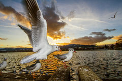 Flying Seagull. S at the sunset time Stock Image