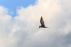 Flying Seagull. In search of prey looking down Stock Photo
