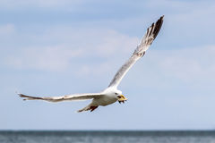 Flying seagull with seashell Royalty Free Stock Image