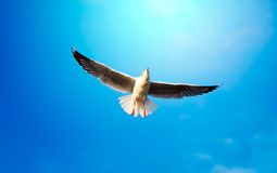 Flying Seagull. Shot of Seagull flying in bright clear blue sky Stock Photos