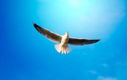 Flying Seagull Stock Photos