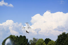 Flying seagull. In the sky Royalty Free Stock Image