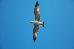 Flying seagull in the sky Stock Photos
