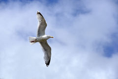 Flying seagull in sky with clouds Stock Photography
