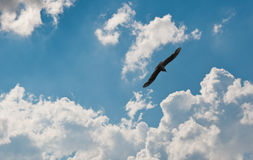 Flying seagull in the sky Stock Image