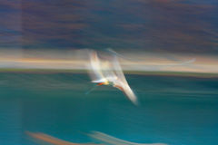 Flying seagull with speed and paint effect. Solitary seagull in flight with blurry and colorful painting effect royalty free stock photos