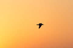 Flying seagull at sunset. Silhouette of flying seagull at sunset Royalty Free Stock Photos