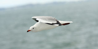 Flying seagull in the sky. Stock Photo
