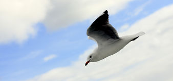 Flying seagull in the sky. Stock Photos