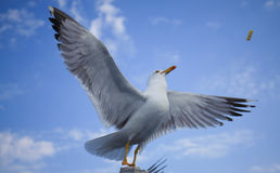 Flying seagull takes cookie (pufulete) from air. Sky fundal. Stock Photography