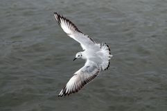 Flying seagull, top view stock photo