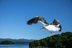 Flying seagull at Toya lake Stock Photos