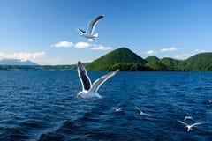 Flying seagull at Toya lake Stock Image