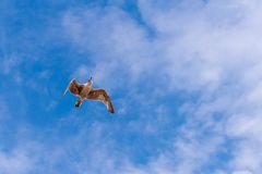 Flying seagull from underneath and a beautiful blue sky with some clouds. Stock Image