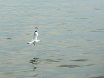 Flying Seagull. On water sea Royalty Free Stock Photo