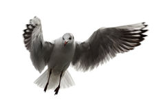 Flying seagull on white background. A seagull flying on white background Stock Image
