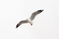 Flying seagull on white background. Seagull flying in the sky symbol of freedom stock photography