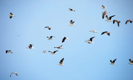 Flying seagulls Stock Photography