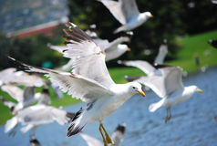Flying seagulls. Seagulls flying in the Sugar house park, SLC, UT Royalty Free Stock Image