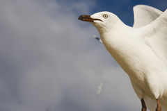 Flying seagulls Royalty Free Stock Photography