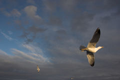 Flying seagulls Stock Image