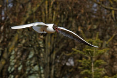 Flying seagulls Royalty Free Stock Images