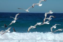 Flying seagulls. Several flying seagulls, surfers in background, photo taken at Maroubra beach, Sydney Royalty Free Stock Photography