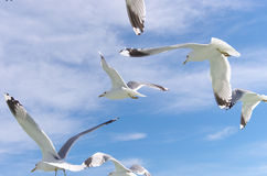 Flying seagulls Royalty Free Stock Photos