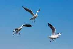 Flying seagulls in action at Bangpoo Stock Images