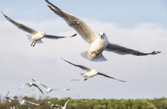 Flying seagulls action in the sky Royalty Free Stock Image