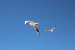 Flying seagulls Stock Image