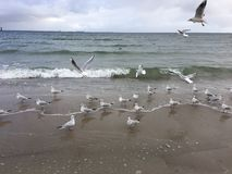 Flying seagulls on the beach in Gdynia. Cloudy day royalty free stock photo