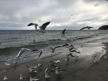 Flying seagulls on the beach in Gdynia. Cloudy day royalty free stock photos