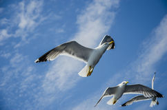 Flying seagulls Stock Images