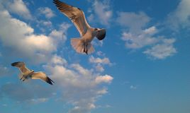 Flying seagulls and beautiful blue sky royalty free stock photos
