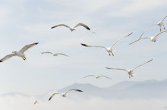Flying seagulls. Birds seagulls flying in the sky over the sea Stock Image