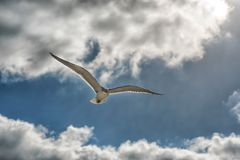 Flying seagulls in the blue sky close-up. Royalty Free Stock Images