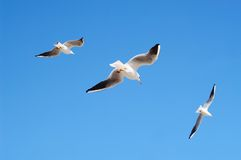 Flying seagulls in blue sky. Royalty Free Stock Photography