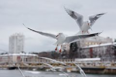 Flying seagulls at city background Stock Images