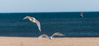 Flying Seagulls. Seagulls coming in for a landing on the beach Royalty Free Stock Photography