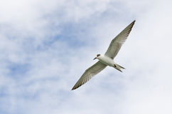 Flying seagulls. Seagulls flying high in the sky Stock Photos