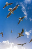 Flying seagulls. This image was taken in Dubai. These seagulls were flying so freely when i clicked my shutter Royalty Free Stock Photos