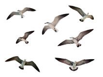 Flying seagulls isolated Stock Images