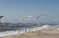 Flying seagulls. Many seagulls flying above the beach Stock Photos