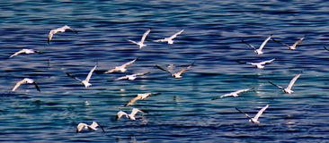 Flying seagulls over a sea. Picture of flying seagulls over a blue sea,in a summer day in a greek town Nea Moudania Royalty Free Stock Images